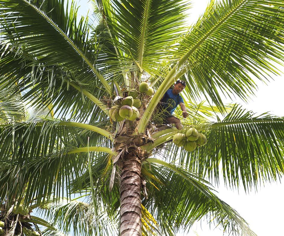 Woher kommt die Kokospalme