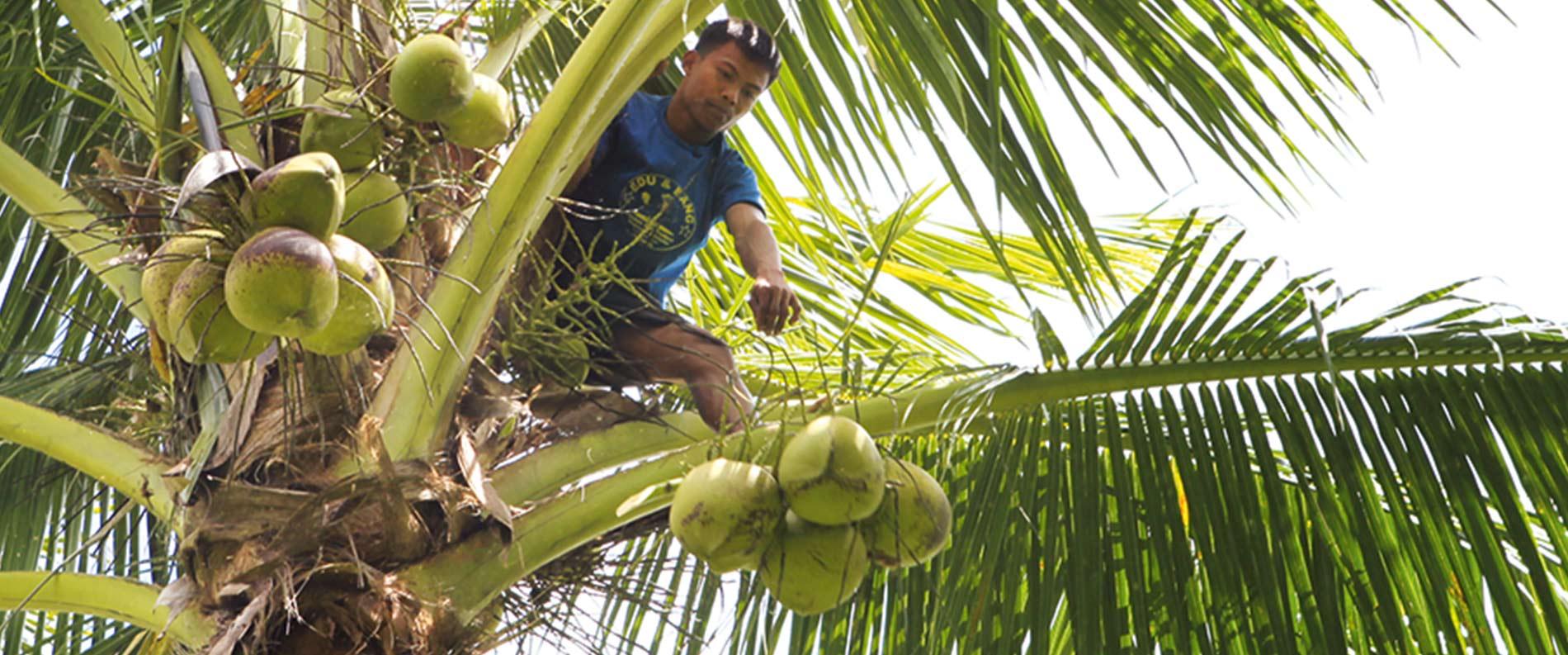 Kokosnussanbau und Kokosnussernte in luftiger Höhe