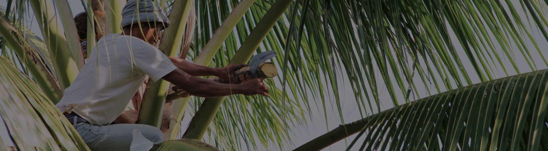 Gewinnung von Kokosblütenzucker