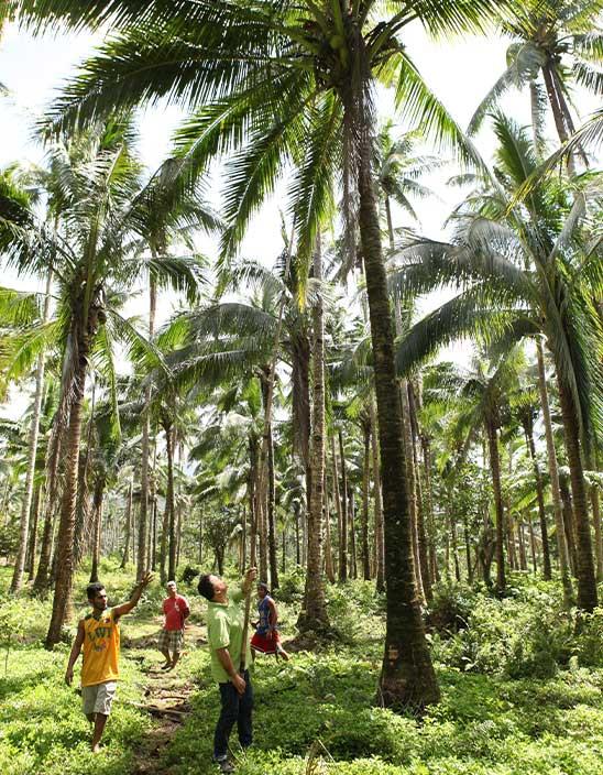 Von Bambusstöcken und wendigen Kletterern Zwei Arten der Kokosernte