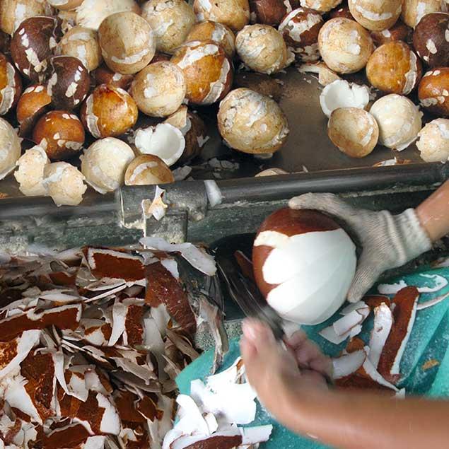 Kokos-Setzlinge für benachteiligte Bauern