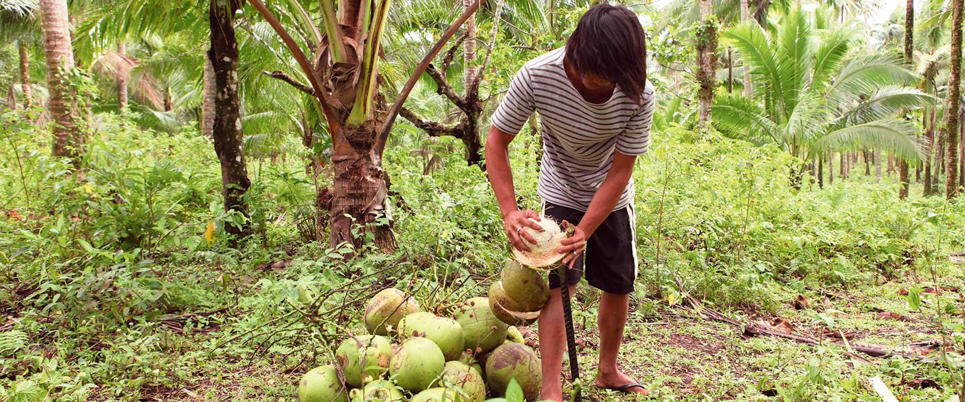 So öffnen Sie richtig der Kokosnuss
