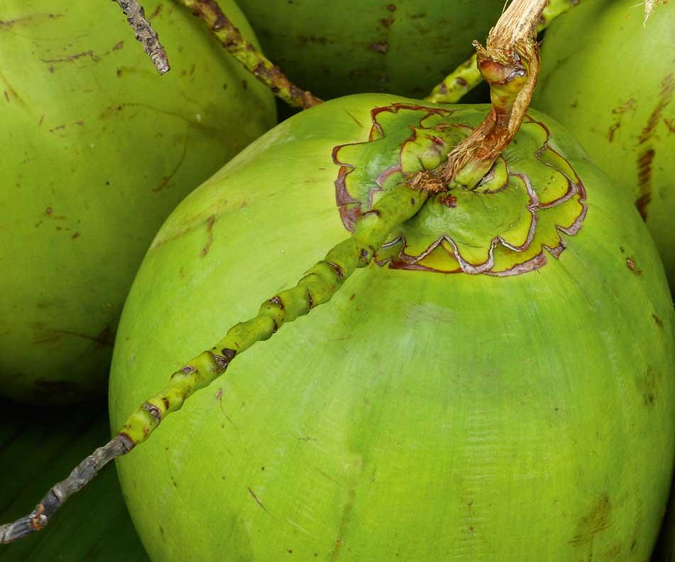 Die Kokospalme mit dem botanischen Namen Cocos nucifera