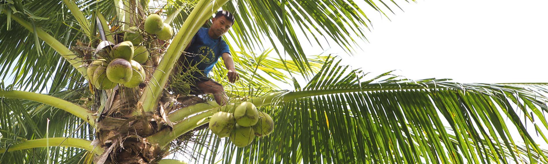 Erfahren Sie hier alles über die Kokospalme!