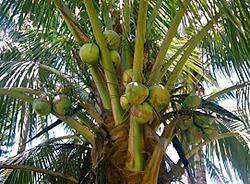 Bio-Kokospalme