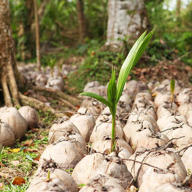Die Kokosnuss - gesund, nährstoffreich und pflegend - Dr. Goerg