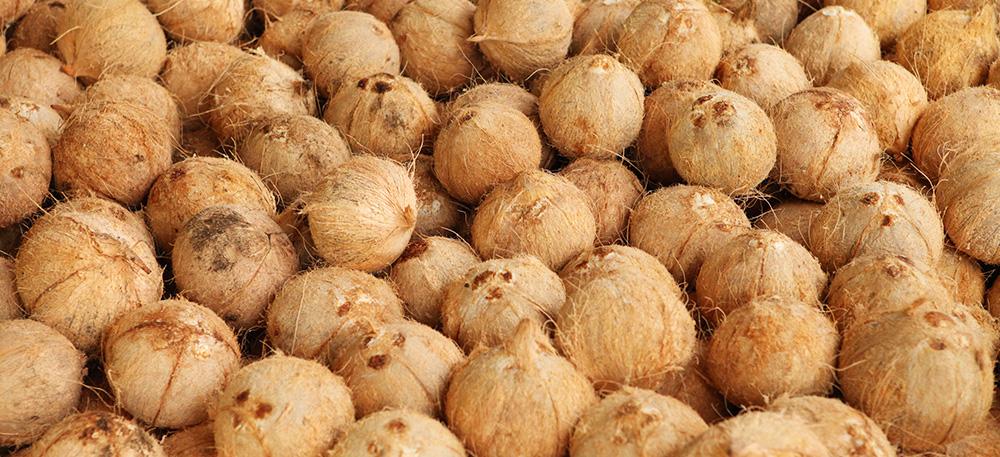 Le noci di cocco dopo la raccolta di Dr. Goerg