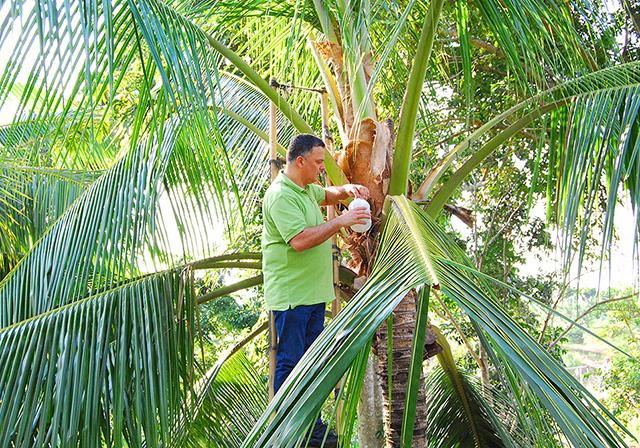 Palme da cocco delle Filippine - Dr. Goerg