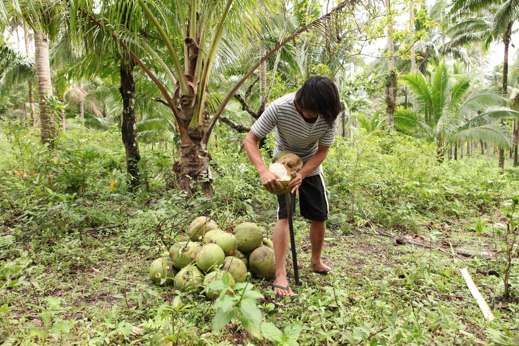 Die Bio-Kokosnüsse werden geschält